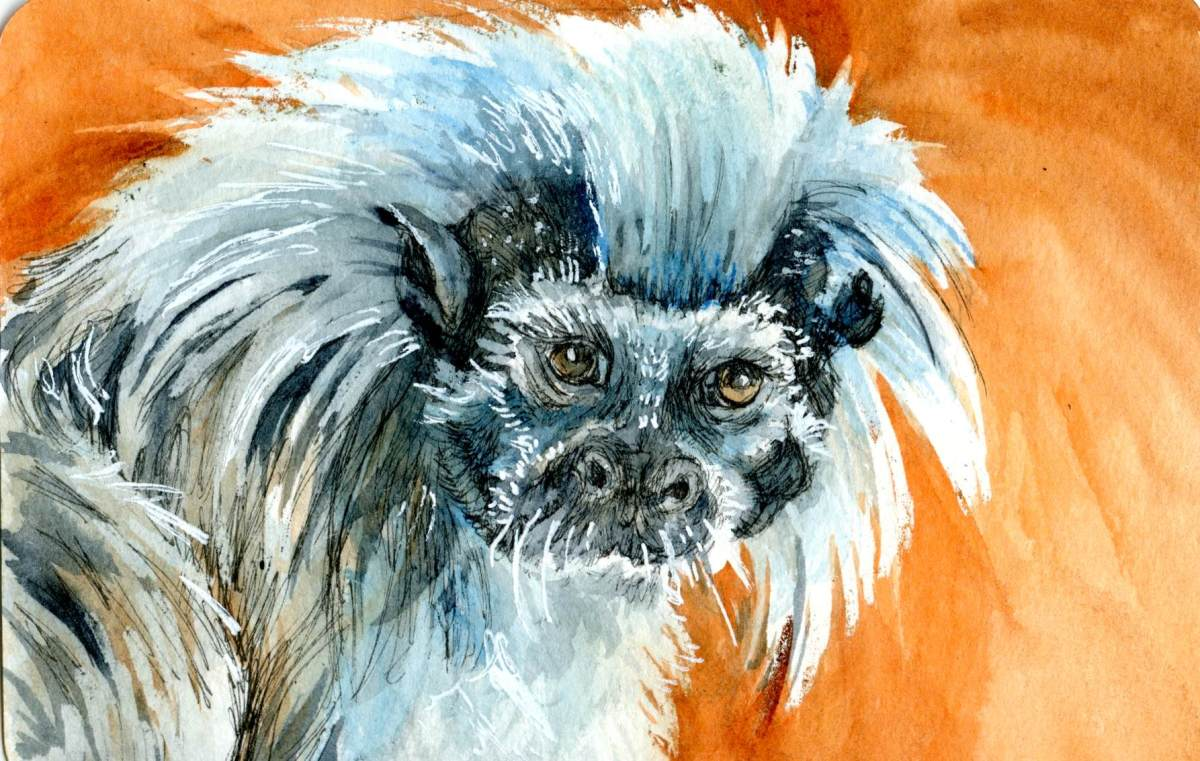 Cotton Top Tamarin- Postcards for the Lunch Bag