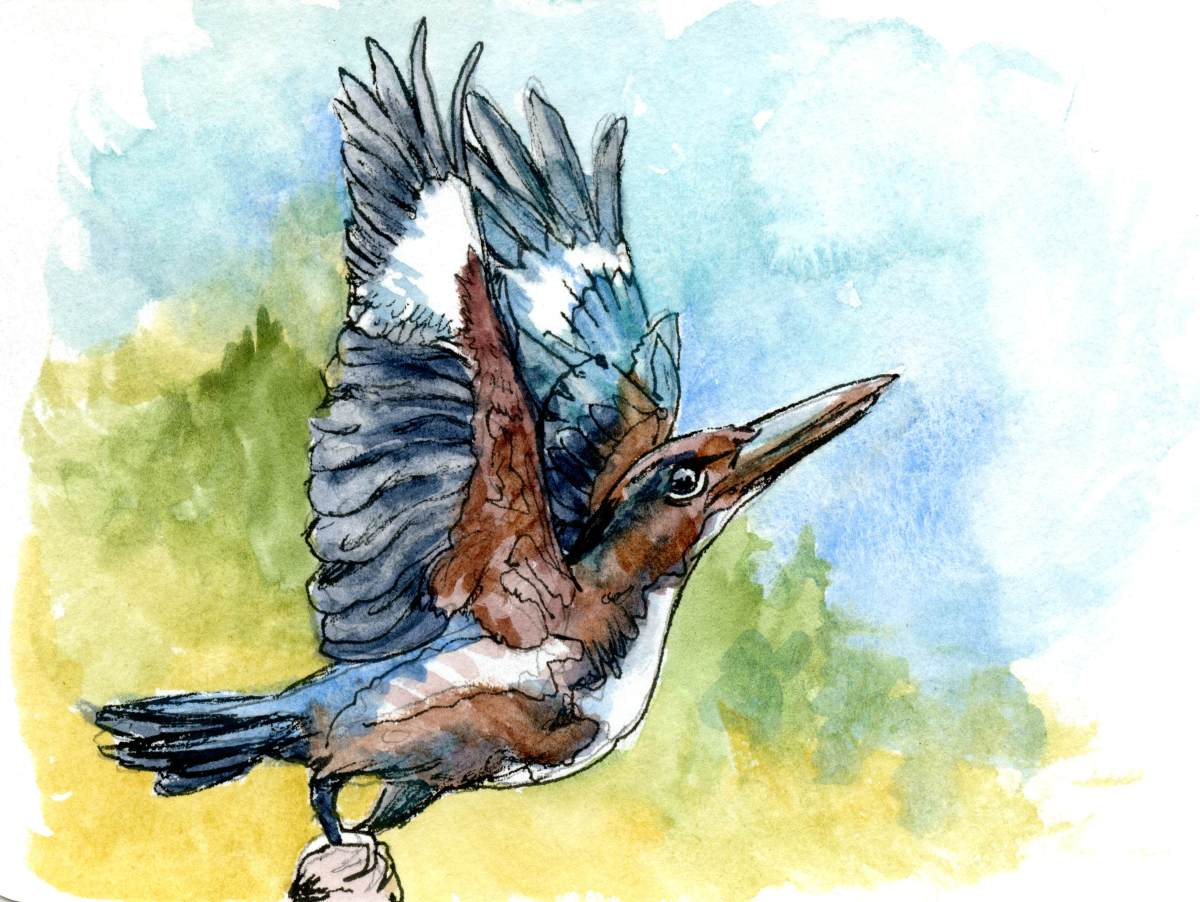 White Throated Kingfisher – Postcards for the Lunch Bag