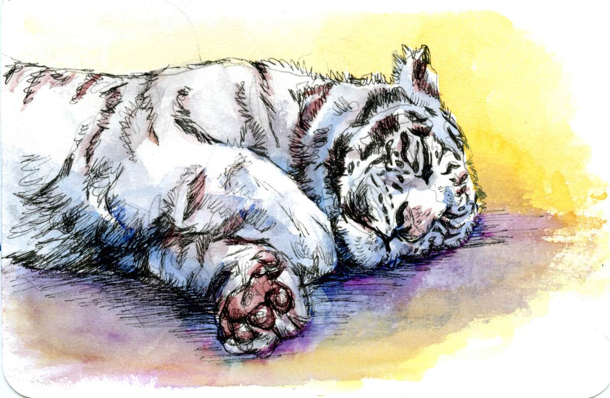 White Tiger – Postcards for the Lunch Bag