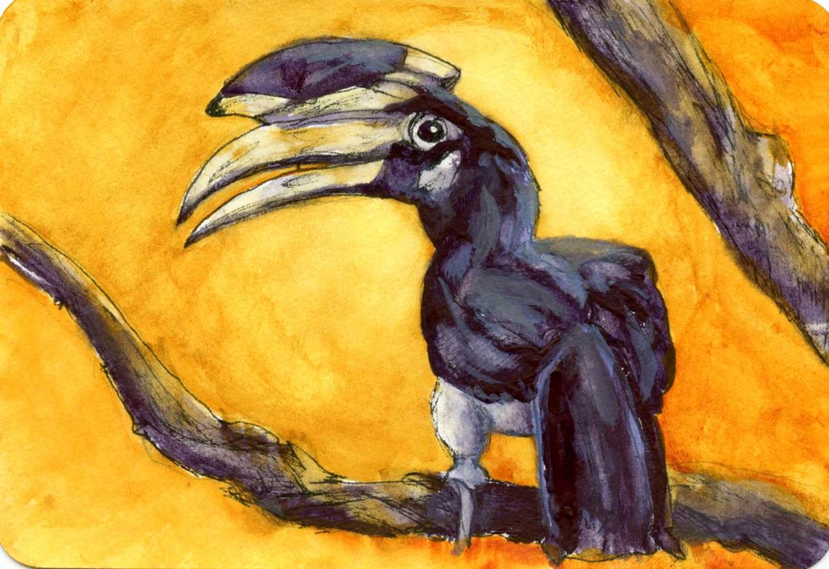 Malabar Pied Hornbill – Postcards for the Lunch Bag