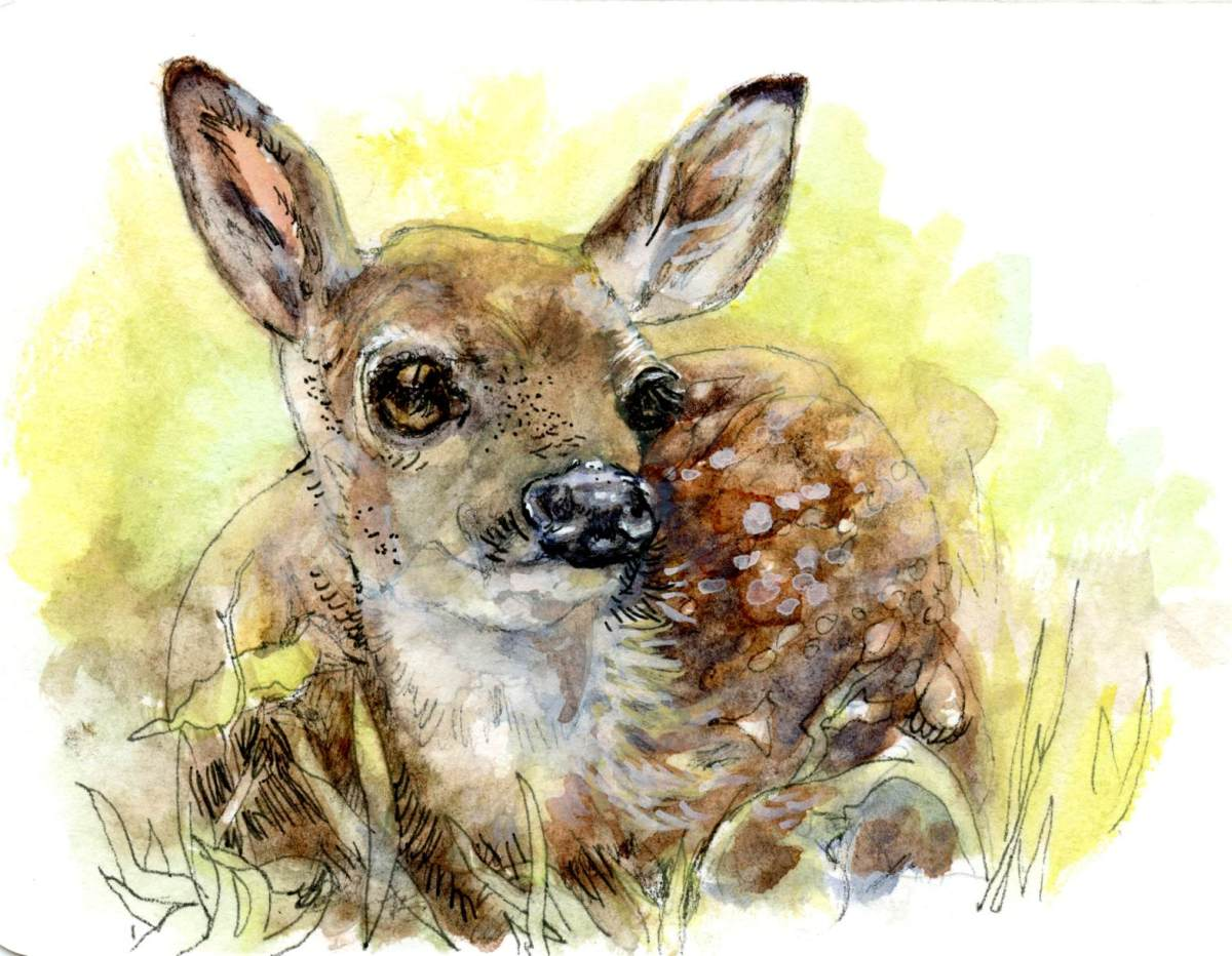 White Tail Fawn – Postcards for the Lunch Bag