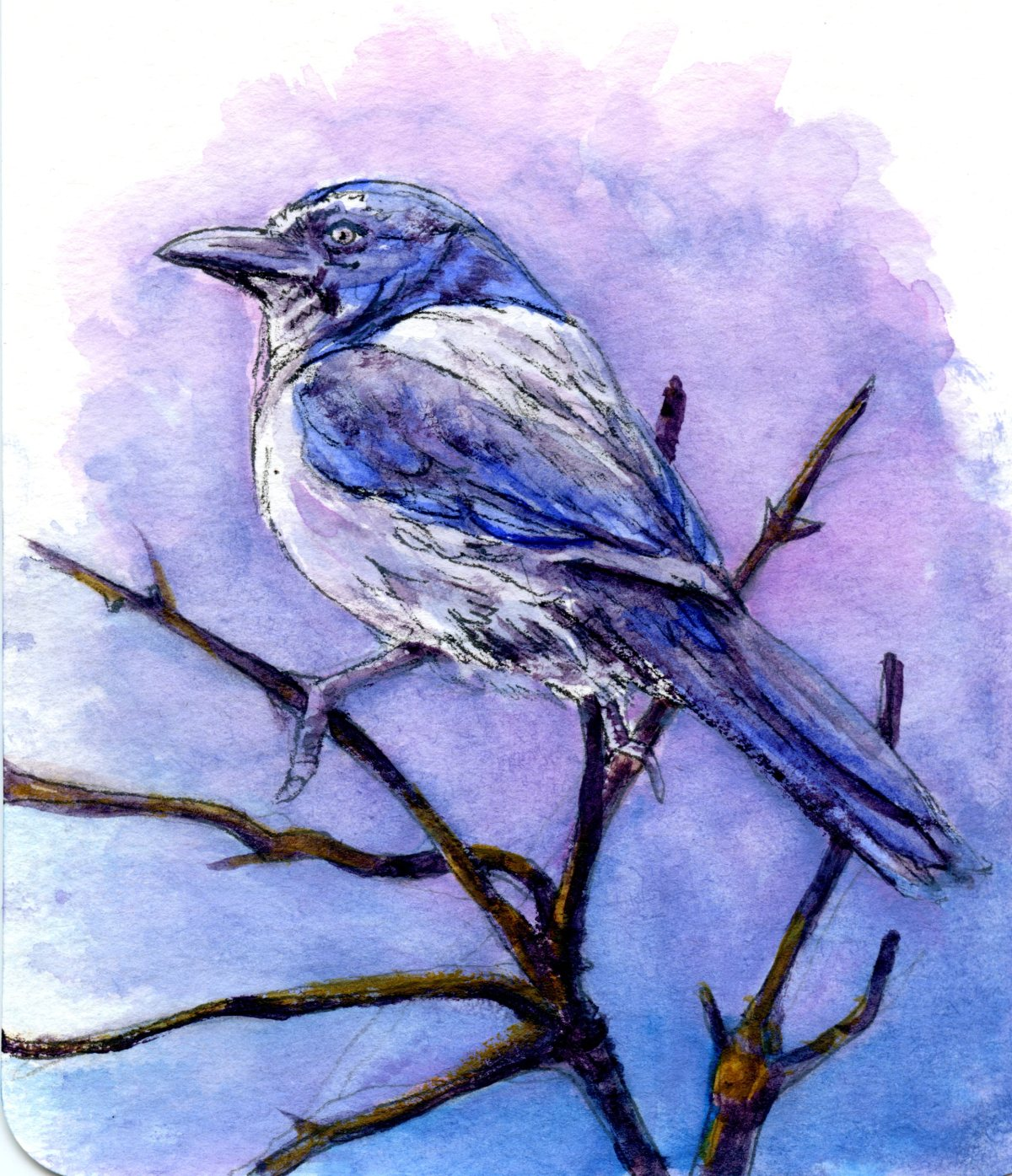 California Scrub Jay – Postcards for the Lunch Bag