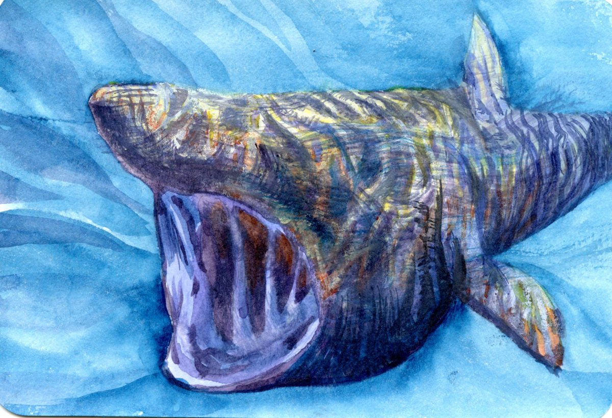 Basking Shark – Postcards for the Lunch Bag